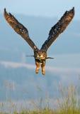 dymienicy orła eurasian sowa fotografia stock