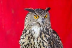 dymienicy orła eurasian sowa obrazy stock
