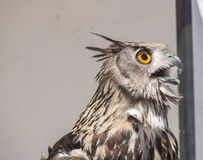 dymienicy orła eurasian sowa zdjęcie stock