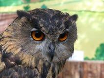 Dymienicy dymienicy yenisseensis - Wschodnia Syberyjska Eagle sowa fotografia stock