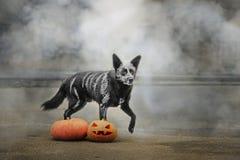 31/5000 dymua hond van Sobaka poziruyet s het tykvoy v stellen met een pompoen in de rook royalty-vrije stock foto