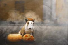 31/5000 dymua hond van Sobaka poziruyet s het tykvoy v stellen met een pompoen in de rook stock afbeeldingen
