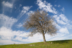 Dynamic clouds and a tree. Lonely tree on a green meadow under blue sky with dynamic clouds Royalty Free Stock Image