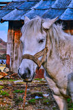 A dynamic horse (portrait). A horse found lonely near by a house at Gnathang Stock Images