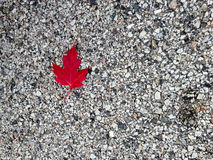 Dynamic Red Fall Leaf against Road. Dynamic red leaf in the fall laying on the road Stock Photography