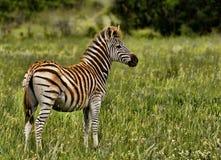 dynamiczna wysokiego pasma zebra Obrazy Royalty Free
