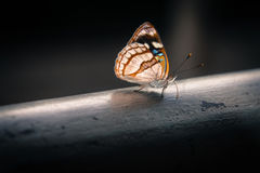 Dynamine Tithia Salpensa. Or Salpensa Sailor butterfly Royalty Free Stock Image