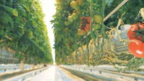 Dynamische Gesamtlänge einer roten Tomatengruppe und -durchganges zwischen Seiten des Tomatenunterholzes stock footage