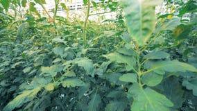Dynamische Gesamtlänge von hohen Tomatensämlingen in einem Grün stock video footage
