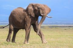 Dynamische stieren Afrikaanse olifant stock foto