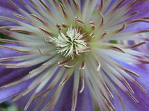 Dynamite. Close up shot of the heart of a clematis flower Royalty Free Stock Photography