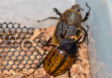 Dynastes hercules Male and female. Are mating, Healthy food in the future, Future protein sources. Beetles are breeding and are going to propagate Stock Image