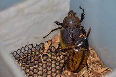 Dynastes hercules Male and female. Are mating, Healthy food in the future, Future protein sources. Beetles are breeding and are going to propagate Stock Photo