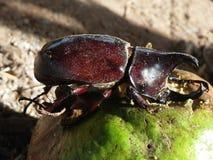 Dynastinae或犀牛甲虫 免版税库存图片