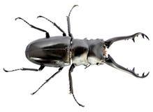 Dynastinae, έντομο Στοκ Φωτογραφίες