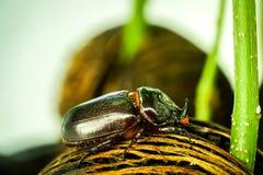 Dynastinae ή κολεόπτερα που περπατά στις ρίζες του δέντρου στοκ φωτογραφίες