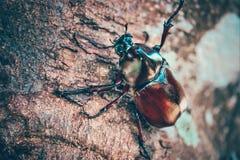 Dynastinae στον κλάδο στο δάσος στοκ εικόνες