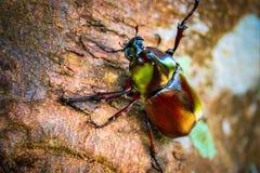 Dynastinae auf der Niederlassung im Wald lizenzfreie stockfotografie