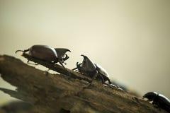 Dynastinae, besouros do rinoceronte fotos de stock