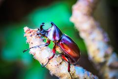 Dynastinae on the branch in the forest royalty free stock photography