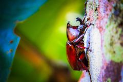 Dynastinae on the branch in the forest. Dynastinae on the tree in the forest animal arthropod asia awesome background beautiful beetle beetles black brown bug stock photos