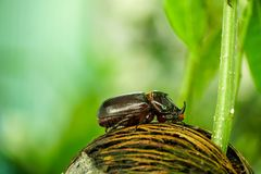Dynastinae or Coleoptera walking on the roots of the tree stock images