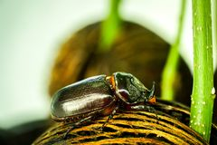 Dynastinae or Coleoptera walking on the roots of the tree stock photos