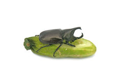 Rhinoceros beetle and cucumber isolated on white background  Stock Photo