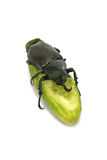 Rhinoceros beetle and cucumber isolated on white background  Royalty Free Stock Photography