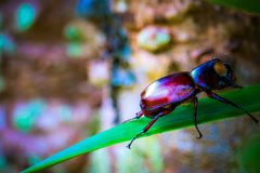 Dynastinae on the branch in the forest stock photo