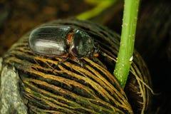 Dynastinae eller Coleoptera som går på, rotar av trädet royaltyfri foto