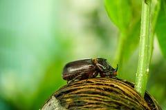 Dynastinae lub Coleoptera odprowadzenie na korzeniach drzewo obrazy stock