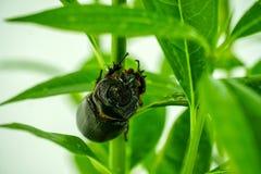 Dynastinae oder Käfer auf einem grünen Baum lizenzfreies stockbild