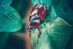 Dynastinae på filialen i skogen fotografering för bildbyråer