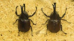 Dynastinae pretos tailandeses Imagens de Stock