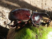 Dynastinae or rhinoceros beetles Royalty Free Stock Image