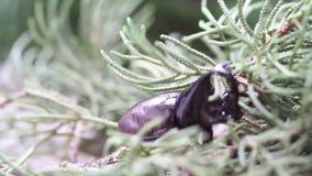 Dynastinae or rhinoceros beetles on tree stock video footage