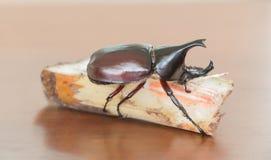 Dynastinae sulla canna da zucchero sulla tavola di legno Fotografie Stock