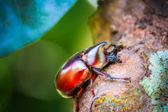 Dynastinae on the branch in the forest royalty free stock images