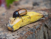 Dynastinae or Xylotrupes Gideon Eat banana insect , Rhinoceros. Beetles, subfamily of the scarab beetle Royalty Free Stock Image