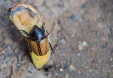 Dynastinae or Xylotrupes Gideon Eat banana insect , Rhinoceros. Beetles, subfamily of the scarab beetle Royalty Free Stock Photo