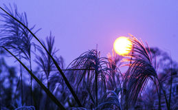 The dynasty sun shines upon the next reed. The sunlight in morning reflects to shoot at the one reed on Stock Photography