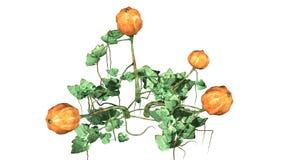 Dyniowa roślina z owoc Zdjęcia Royalty Free