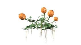 Dyniowa roślina z owoc Obraz Stock