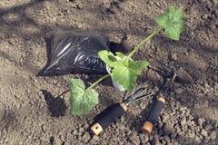 Dyniowe rozsady i ogrodnictw narzędzia z użyźniaczem w plactic Zdjęcia Royalty Free