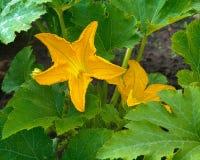 Dyniowy kwiat Fotografia Royalty Free