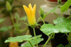 Dyniowy kwiat w patio ogródzie Zdjęcia Stock