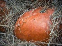 Dyniowy zakończenie Pomarańczowy dyniowy odgórny widok Gurda czerepu zakończenie up Kabaczka tło Wielki pomarańczowy dyniowy kłam obrazy stock