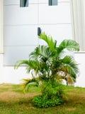 Dypsis lutescens ή Areca φοίνικας ή χρυσό fea φοινικών καλάμων χρυσού ή Στοκ Εικόνες