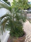 Dypsis lutescens, areki palma, Złota trzciny palma lub motyl palma Zdjęcie Stock